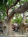 Taichung County, Houli Township, Yuemei Village, cloud Tau Road, Camphor tree - 1400 years old - panoramio (1).jpg