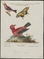Tanagra brasilia - 1700-1880 - Print - Iconographia Zoologica - Special Collections University of Amsterdam - UBA01 IZ15900225.tif