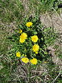 Taraxacum officinale plant13 ST (16376673905).jpg