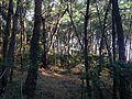 Tate Pine Grove 5.JPG