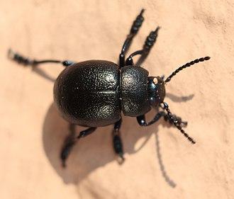 Timarcha - Timarcha goettingensis