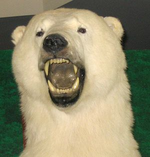 Taxidermied polar bear head