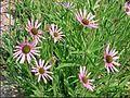 Tennessee coneflower US Botanic Garden.jpg