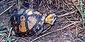 Terrapene mexicana, Mexican Box Turtle, Tamaulipas.jpg