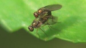 File:Teuchophorus sp - 2015-06-28.webm