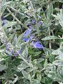 Teucrium fruticans Azureum (8936612783).jpg