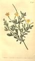 The Botanical Magazine, Plate 461 (Volume 13, 1799).png