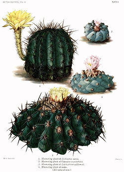The Cactaceae Vol III, plate X filtered.jpg
