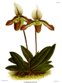 The Orchid Album-01-0110-0036-Cypripedium politum.png
