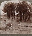 The Winnowing of the grain after the threshing--field work of peasant laborers--Egypt. (38) (1904) - front - TIMEA (cropped).jpg