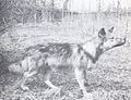 The Wolves of North America (1944) Gray wolf x Collie cross 4.jpg