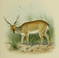The deer of all lands (1898) Pampas deer.png