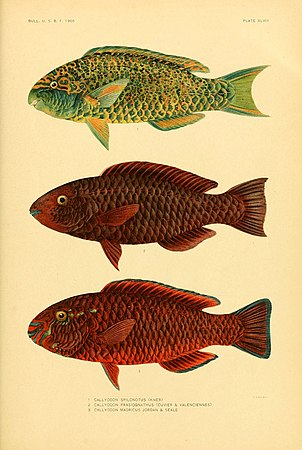 The fishes of Samoa (Plate XLVIII) (5998451635).jpg