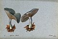 The fragrant agaric or aniseed toadstool (Clitocybe odora); Wellcome V0043339.jpg