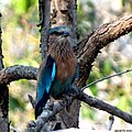 The indian roller.jpg