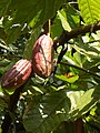 Theobroma cacao Fruits.jpg