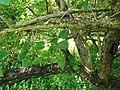 Thespesia populnea (branches).jpg