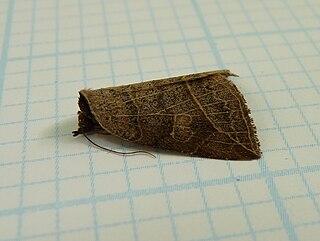 <i>Isogona</i> Genus of moths