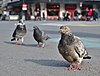 Three rock doves (Columba livia) standing on place de la Bourse, Brussels, Belgium (DSCF4423).jpg