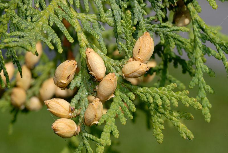 File:Thuja occidentalis - cone 1 (aka).jpg