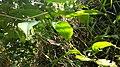 Thunbergia mysorensis Mysore trumpetvine leaves closeUp left.jpg