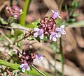 Thymus serpyllum in Aveyron (3).jpg