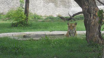 Tiger faced at Chhatbir zoo.jpg