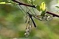 Tipula.hortorum.male.jpg