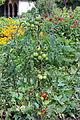Tomate (Solanum lycopersicum) 01.jpg