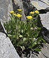 Tonestus peirsonii Inyo tonestus Long Lake cliffs.jpg