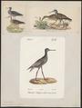 Totanus fuscus - 1700-1880 - Print - Iconographia Zoologica - Special Collections University of Amsterdam - UBA01 IZ17400123.tif
