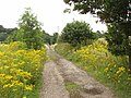 Track bordered by ragwort - geograph.org.uk - 910050.jpg