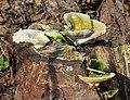 Trametes gibbosa, Lumpy Bracket, UK.jpg