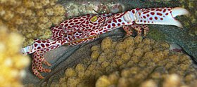 Trapezia tigrina - Red Spotted Guard Crab.jpg