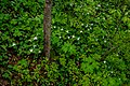 Tree with Trillium Flowers PLT-FL-TR-9.jpg