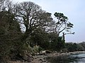 Trees, Percuil River - geograph.org.uk - 382111.jpg