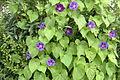 Trichterwinde (Ipomoea purpurea) Reihe 4 047.jpg