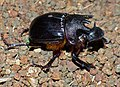Trident Dung Beetle (Heliocopris neptunus) male attracted to light (12717853363).jpg