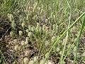 Trifolium angustifolium habit1 (10620158773).jpg