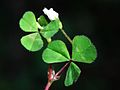 Trifolium subterraneum Corse.jpg