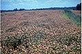 Trifolium vesiculosum.jpg