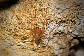 Biospeleology - The spider Trogloraptor marchingtoni from a cave in Oregon.