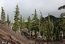 Hemlock trees form a forest, but the underlying lava shows through bare in the lower left