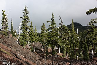 Three Sisters (Oregon) - Mountain hemlock growing on andesitic lava