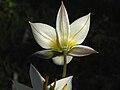 Tulipa turkestanica 5.JPG