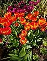 Tulips, museum gardens, York - panoramio.jpg