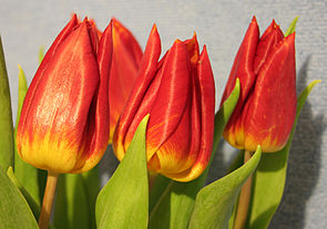 Tulpen-Hybriden