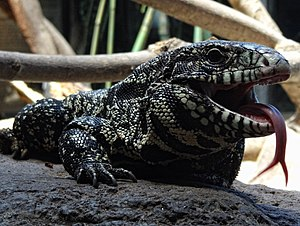 Argentine black and white tegu - Specimen of Salvator merianae in the Buenos Aires Zoo