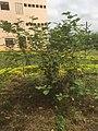 Turkey Berries Plant 008.jpg