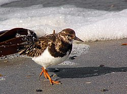 Turnstone Arenaria interpres.jpg